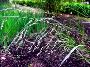 Ricegrass