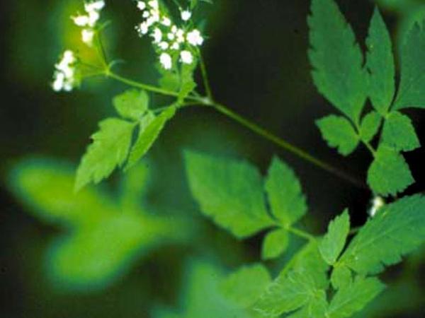 Clayton's Sweetroot (Osmorhiza Claytonii) https://www.sagebud.com/claytons-sweetroot-osmorhiza-claytonii