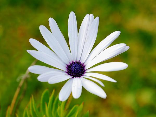 Blue And White Daisybush (Osteospermum Ecklonis) https://www.sagebud.com/blue-and-white-daisybush-osteospermum-ecklonis