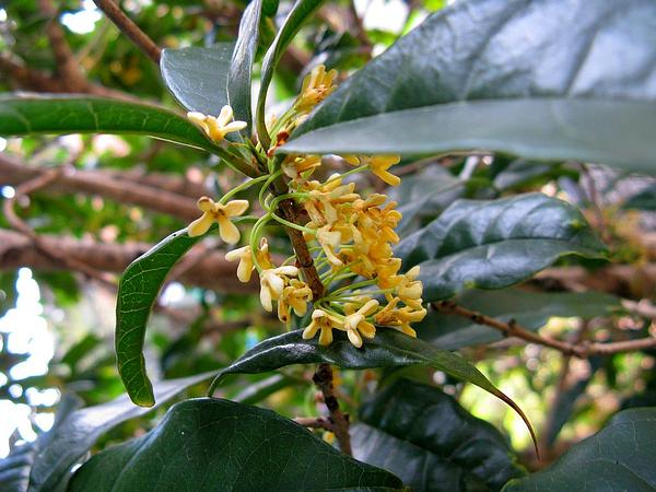Devilwood (Osmanthus) https://www.sagebud.com/devilwood-osmanthus