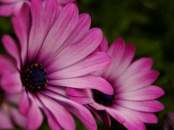 Daisybush (Osteospermum) https://www.sagebud.com/daisybush-osteospermum