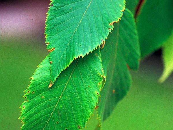 Hophornbeam (Ostrya Virginiana) https://www.sagebud.com/hophornbeam-ostrya-virginiana