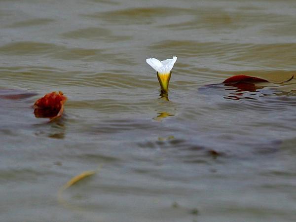 Ducklettuce (Ottelia Alismoides) https://www.sagebud.com/ducklettuce-ottelia-alismoides/