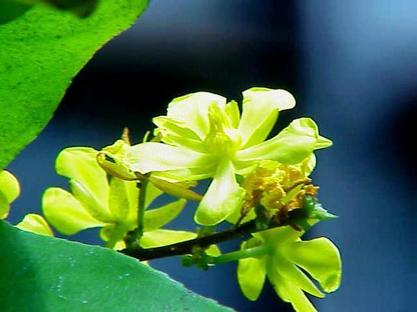 Ouratea (Ouratea) https://www.sagebud.com/ouratea-ouratea/