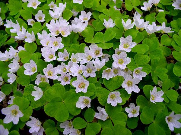 Woodsorrel (Oxalis) https://www.sagebud.com/woodsorrel-oxalis