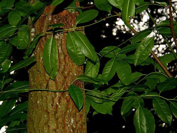 Sourwood (Oxydendrum Arboreum) https://www.sagebud.com/sourwood-oxydendrum-arboreum