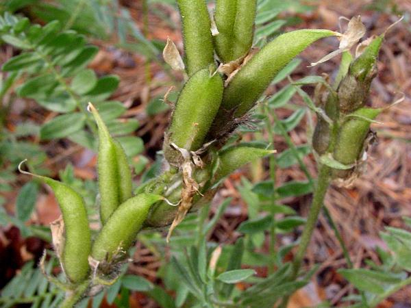 Field Locoweed (Oxytropis Campestris) https://www.sagebud.com/field-locoweed-oxytropis-campestris/