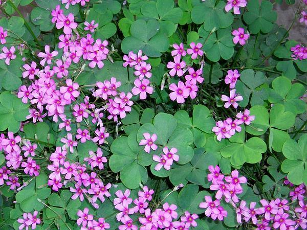 Pink Woodsorrel (Oxalis Debilis) https://www.sagebud.com/pink-woodsorrel-oxalis-debilis