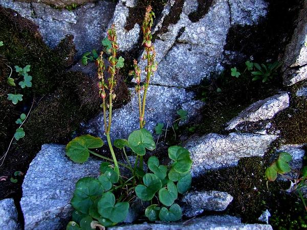 Alpine Mountainsorrel (Oxyria Digyna) https://www.sagebud.com/alpine-mountainsorrel-oxyria-digyna