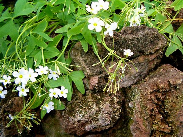 Broadleaf Woodsorrel (Oxalis Latifolia) https://www.sagebud.com/broadleaf-woodsorrel-oxalis-latifolia