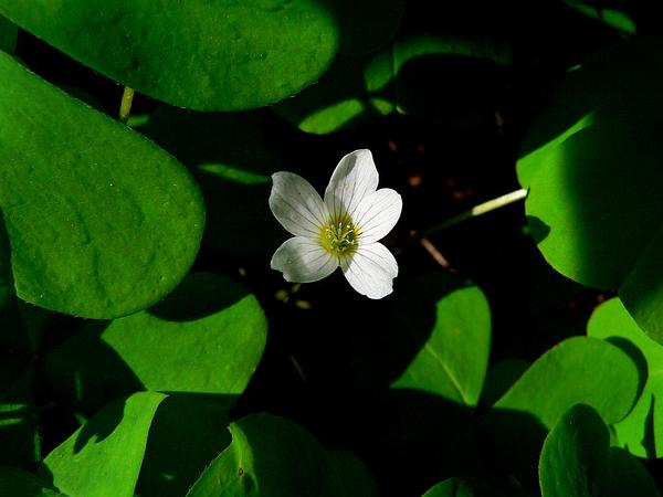 Redwood-Sorrel (Oxalis Oregana) https://www.sagebud.com/redwood-sorrel-oxalis-oregana