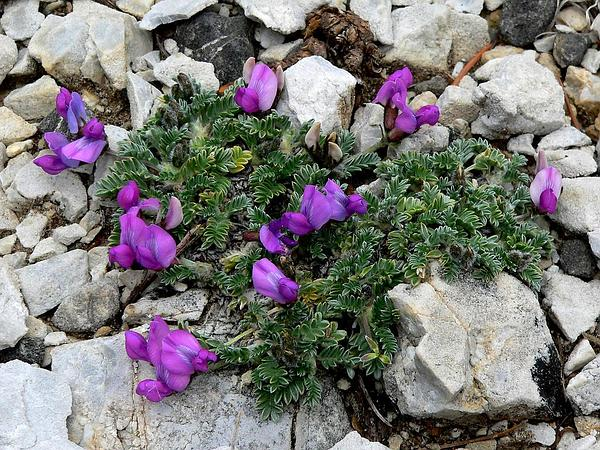 Mountain Oxytrope (Oxytropis Oreophila) https://www.sagebud.com/mountain-oxytrope-oxytropis-oreophila