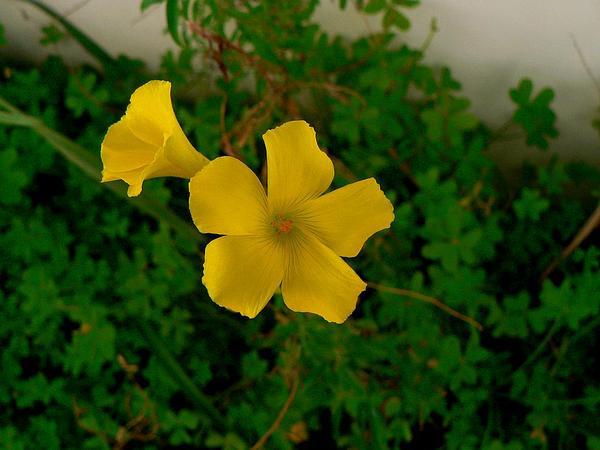 Bermuda Buttercup (Oxalis Pes-Caprae) https://www.sagebud.com/bermuda-buttercup-oxalis-pes-caprae