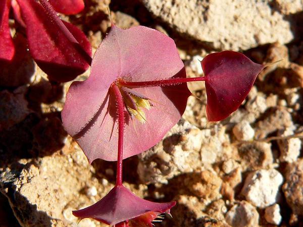 Roundleaf Oxytheca (Oxytheca Perfoliata) https://www.sagebud.com/roundleaf-oxytheca-oxytheca-perfoliata