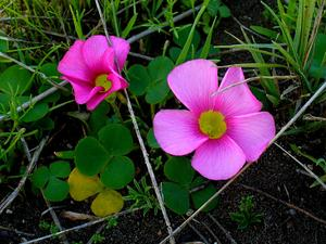 Purple Woodsorrel