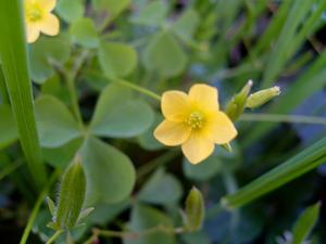 Common Yellow Oxalis