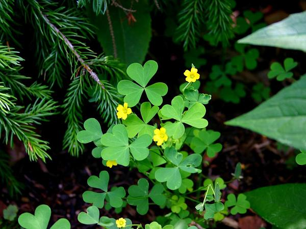 Common Yellow Oxalis (Oxalis Stricta) https://www.sagebud.com/common-yellow-oxalis-oxalis-stricta/
