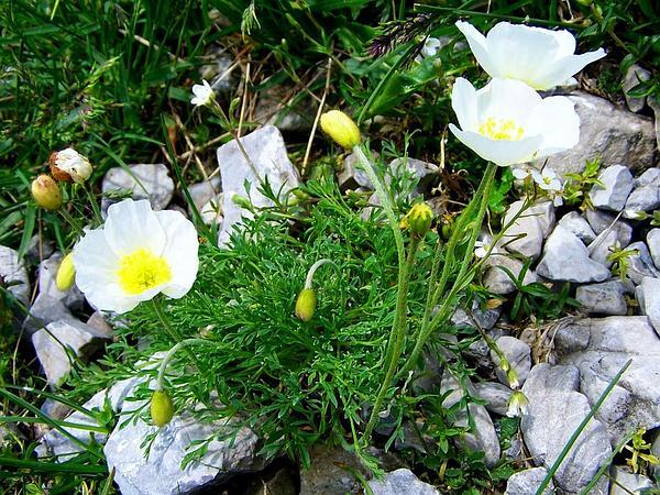 Dwarf Poppy (Papaver Alpinum) https://www.sagebud.com/dwarf-poppy-papaver-alpinum