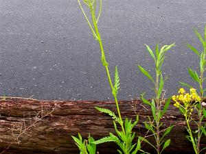Small's Ragwort