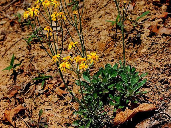 Shale Barren Ragwort (Packera Antennariifolia) https://www.sagebud.com/shale-barren-ragwort-packera-antennariifolia