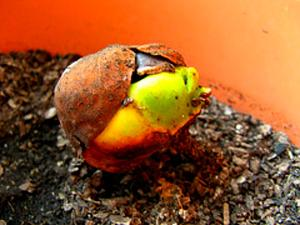 Guiana-Chestnut