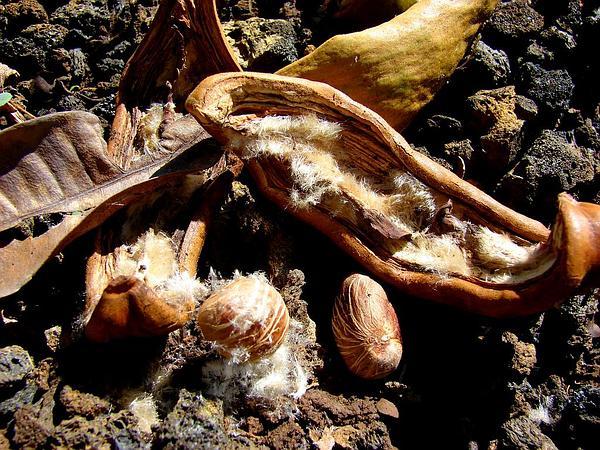 Guiana-Chestnut (Pachira Aquatica) https://www.sagebud.com/guiana-chestnut-pachira-aquatica