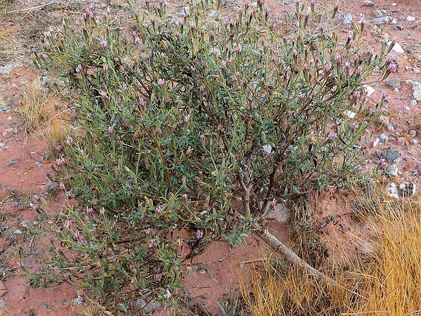 Desert Palafox (Palafoxia Arida) https://www.sagebud.com/desert-palafox-palafoxia-arida