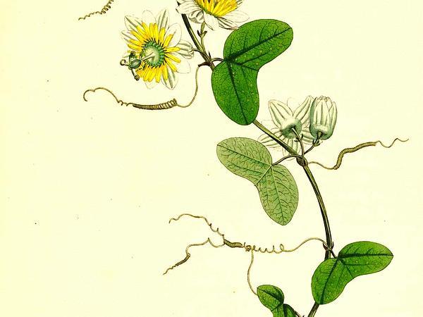 Twoflower Passionflower (Passiflora Biflora) https://www.sagebud.com/twoflower-passionflower-passiflora-biflora