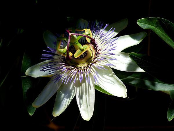 Bluecrown Passionflower (Passiflora Caerulea) https://www.sagebud.com/bluecrown-passionflower-passiflora-caerulea