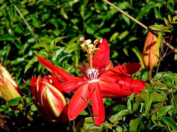 Scarlet Passionflower (Passiflora Coccinea) https://www.sagebud.com/scarlet-passionflower-passiflora-coccinea/