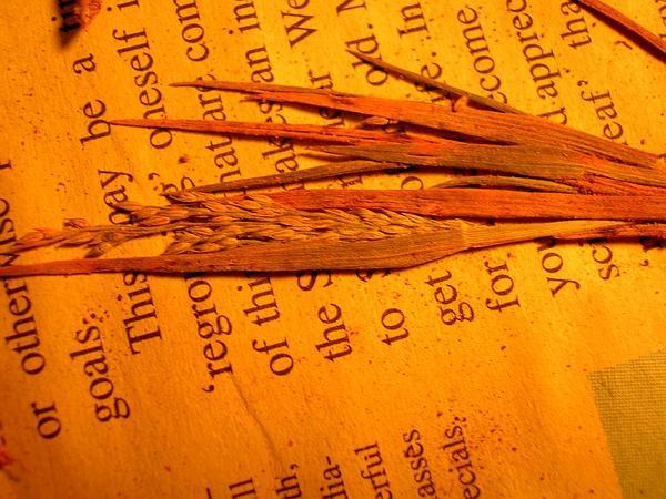 Faurie's Panicgrass (Panicum Fauriei) https://www.sagebud.com/fauries-panicgrass-panicum-fauriei