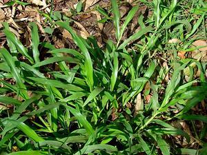 Panama Crowngrass
