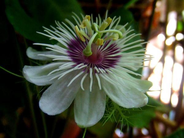 Fetid Passionflower (Passiflora Foetida) https://www.sagebud.com/fetid-passionflower-passiflora-foetida