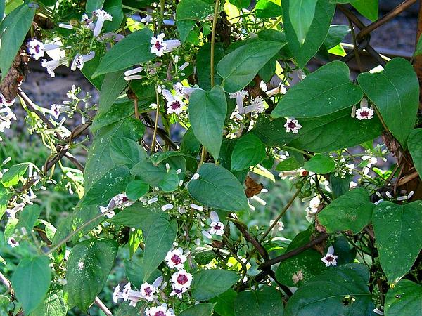Stinkvine (Paederia Foetida) https://www.sagebud.com/stinkvine-paederia-foetida