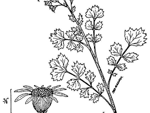 Butterweed (Packera Glabella) https://www.sagebud.com/butterweed-packera-glabella