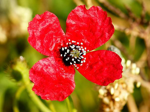 Round Pricklyhead Poppy (Papaver Hybridum) https://www.sagebud.com/round-pricklyhead-poppy-papaver-hybridum