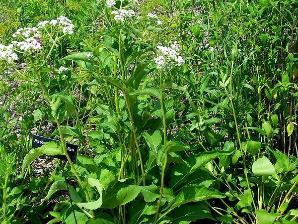 Wild Quinine (Parthenium Integrifolium) https://www.sagebud.com/wild-quinine-parthenium-integrifolium/