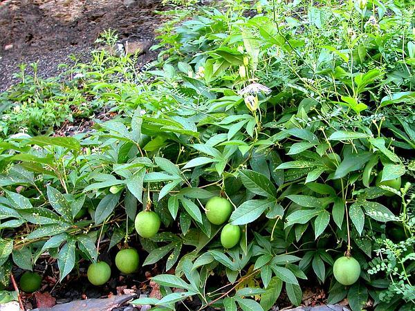 Purple Passionflower (Passiflora Incarnata) https://www.sagebud.com/purple-passionflower-passiflora-incarnata