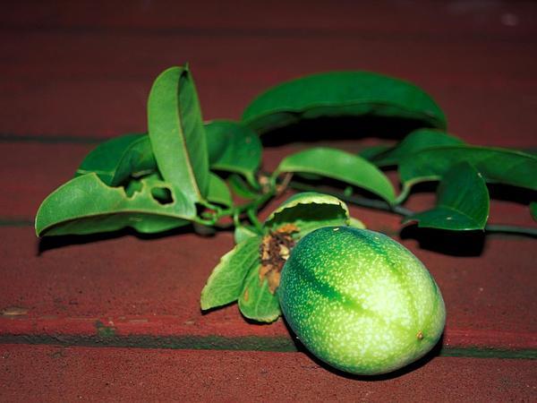 Golden Bellapple (Passiflora Laurifolia) https://www.sagebud.com/golden-bellapple-passiflora-laurifolia