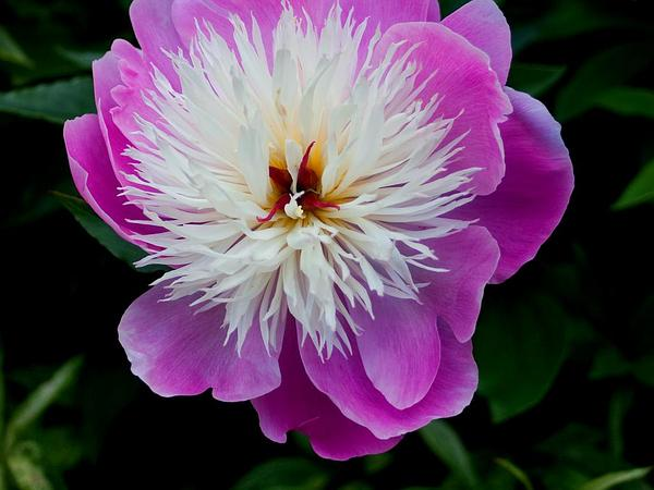 Chinese Peony (Paeonia Lactiflora) https://www.sagebud.com/chinese-peony-paeonia-lactiflora