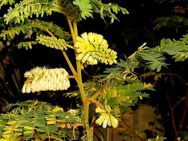 Plume Albizia (Paraserianthes Lophantha) https://www.sagebud.com/plume-albizia-paraserianthes-lophantha