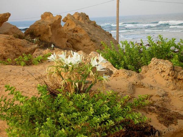 Sea-Daffodil (Pancratium Maritimum) https://www.sagebud.com/sea-daffodil-pancratium-maritimum
