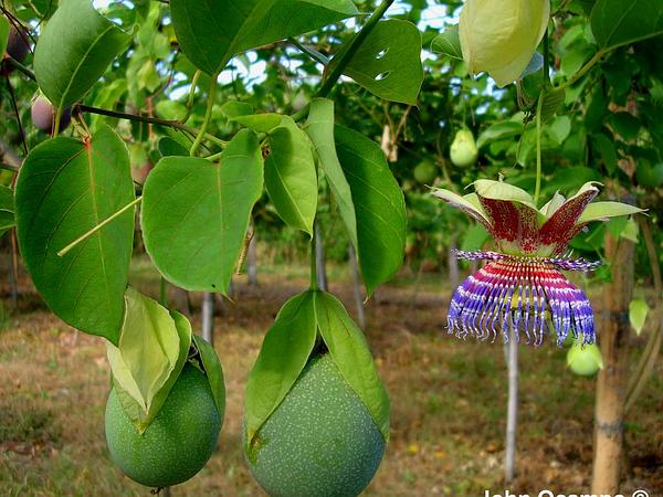 Conch Apple (Passiflora Maliformis) https://www.sagebud.com/conch-apple-passiflora-maliformis
