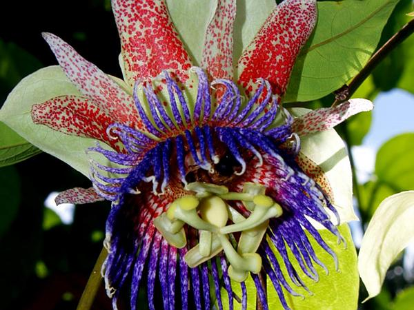 Conch Apple (Passiflora Maliformis) https://www.sagebud.com/conch-apple-passiflora-maliformis/