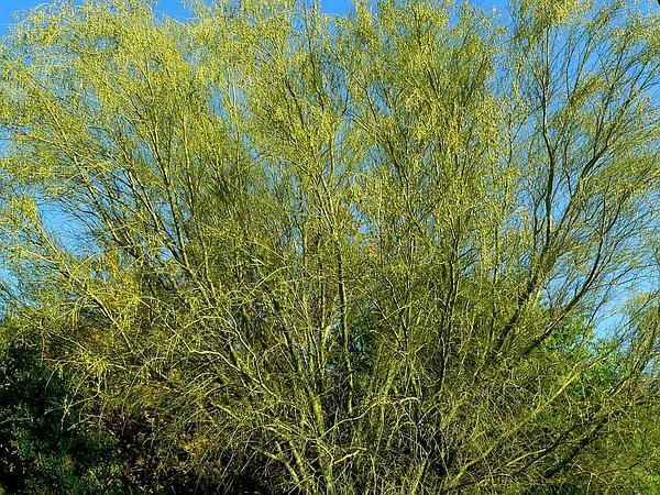 Yellow Paloverde (Parkinsonia Microphylla) https://www.sagebud.com/yellow-paloverde-parkinsonia-microphylla/