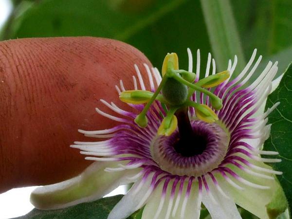 Woodland Passionflower (Passiflora Morifolia) https://www.sagebud.com/woodland-passionflower-passiflora-morifolia/