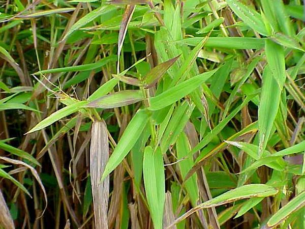 Panicgrass (Panicum) https://www.sagebud.com/panicgrass-panicum