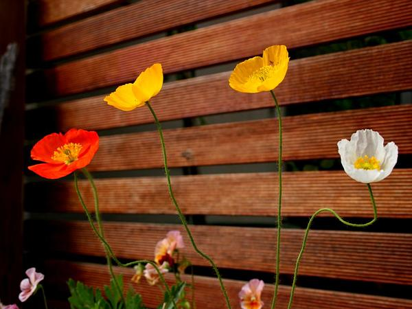 Icelandic Poppy (Papaver Nudicaule) https://www.sagebud.com/icelandic-poppy-papaver-nudicaule