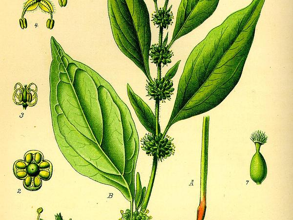 Upright Pellitory (Parietaria Officinalis) https://www.sagebud.com/upright-pellitory-parietaria-officinalis