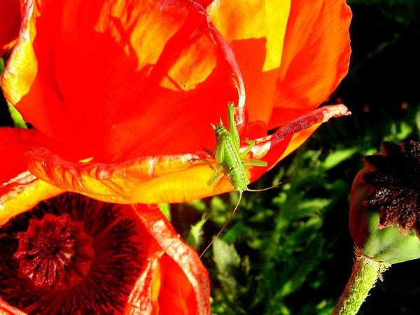 Oriental Poppy (Papaver Orientale) https://www.sagebud.com/oriental-poppy-papaver-orientale